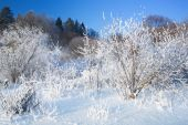 Bushes Covered By Hoarfrost. Landscape.