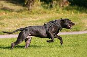 stock photo of american staffordshire terrier  - American Staffordshire Terrier dog running on green grass - JPG