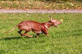 image of pharaoh  - Pharaoh hound dog running on green grass - JPG
