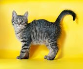 Striped Kitten Standing On Yellow