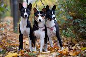 Three Basenji dogs in autumn park