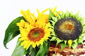 Yellow sunflowers and sunflower seeds on a white background