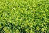 Preview Green Field Plant Millet Background