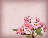 Frangipani or plumeria tropical flower with old grunge antique paper