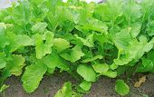 stock photo of turnips  - The Bed with turnip in the garden - JPG