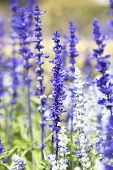 foto of purple sage  - Blue salvia purple flowers bloom in season - JPG