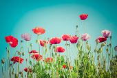 Floral Background In Vintage Style For Greeting Card. Wild Poppy Flowers On Summer Meadow