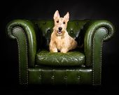 stock photo of scottish terrier  - Picture of a Wheaten Scottish Terrier on a green chair - JPG
