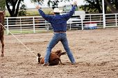 picture of brahma-bull  - Calf roping action at a rodeo - JPG