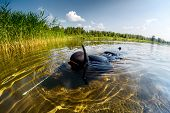 image of spearfishing  - Spear fisherman in black wetsuit moving on shallow part of the lake towards reed thiket - JPG