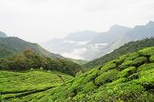 Tea fields and mountains in munnar