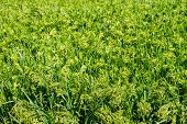 stock photo of millet  - a Preview green field plant millet background - JPG