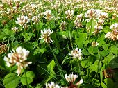 Overgrown Meadow Young White Clover