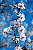 closeup of an almond tree in full bloom