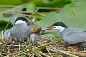 foto of tern  - common tern feeding its chicks in the nest  - JPG