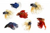 Group ofSiamese fighting fish Beta fish on white background