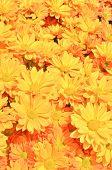 stock photo of chrysanthemum  - Yellow Chrysanthemum Flowers Background In The Beautiful Garden - JPG