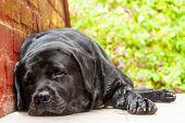 Black Labrador-retriever Resting In The Shade