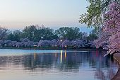 Tidal Basin with bloomimg cherry trees at dawn.