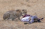 stock photo of wildebeest  - Adult cheetah feasting on wildebeest kill Masai Mara National Reserve Kenya East Africa - JPG