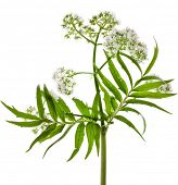 Valerian (Valeriana officinalis) flowering plant isolated in front of white background