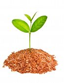 Little Tree Growing On A Pile Of Red Organic Rice.