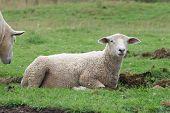 Sheep Resting