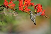 stock photo of crocosmia  - Annas Hummingbird Feeding on red Crocosmia flowers - JPG