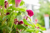picture of cockscomb  - Celosia or Wool flowers or Cockscomb flower in the garden or nature park - JPG