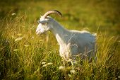 stock photo of goat horns  - White horned goat eating grass on green meadow - JPG