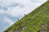Two Mountain Goats On Green Slope