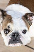 Close Up Of English Bulldog