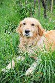 Close Up Of Golden Retriever In Grass
