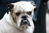 Close Up Of Bulldog With Canines