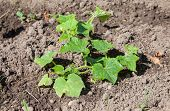 Small Cucumber Plants Growing In The Ground