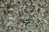 picture of plexus  - Plexus twigs and leaves of decorative trimmed bush as nature background - JPG