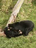 Pair Of Spectacled Bears