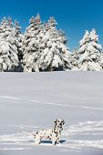 foto of spotted dog  - Dalmatian dog standing and looking in snow - JPG