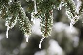picture of sleet  - Isolated spruce branch with melting sleet in winter - JPG