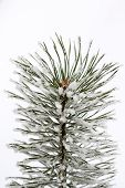 Isolated Frosty Pine Branch