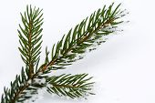 Isolated Frosty Spruce Branch