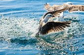 foto of flock seagulls  - Animals nature and action. Flock of seagulls in fight for food in the water.
