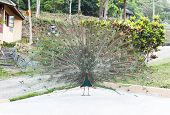 image of female peacock  - Beautiful indian peacock with fully fanned tail