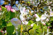 Bee On Blossom Tree In Spring