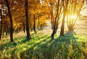 Maples in autumn park