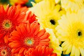 Background Beautiful Red And Yellow Daisy Flowers Gerbera. Toned Instant Photo