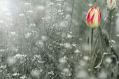 Beautiful Spring Blooming Red With White Tulips
