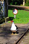 Muscovy duck on a footbridge.