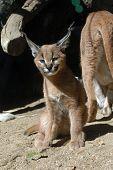 Caracal kitten (Caracal caracal).