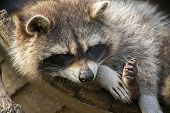 Lazy Raccoon.